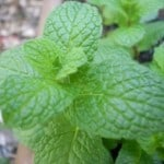 Peppermint Herb Plant