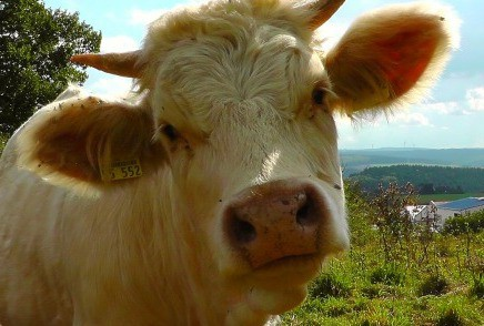 Curious White Cow