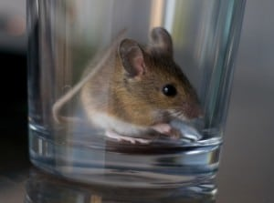 Small brown mouse trapped in drinking glass