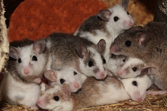 Group Of Mice Leading To A Mouse Infestation