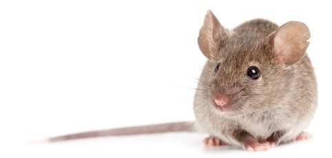mice control experts in Toronto, Canada
