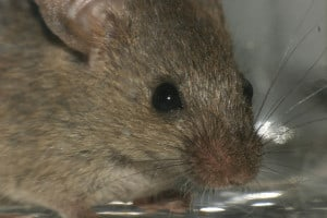 getting rid of mice in an apartment