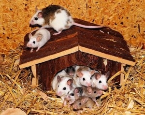 family of mice