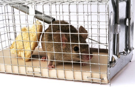 Trap mice with cages to move them safely out of your house