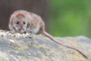 photo of brown rat eating seeds outside