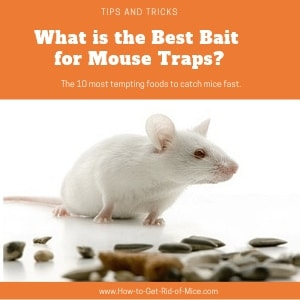 The Best Bait for Your Mousetrap featured image with a white mouse sitting in front of seeds (one of their favorites!)