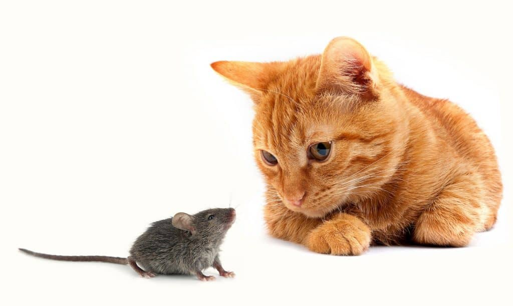 orange tabby staring at grey mouse