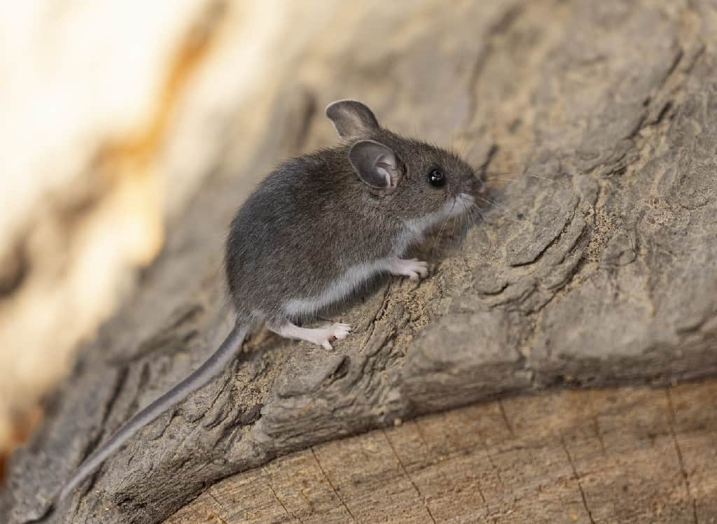 deer mouse on rocks