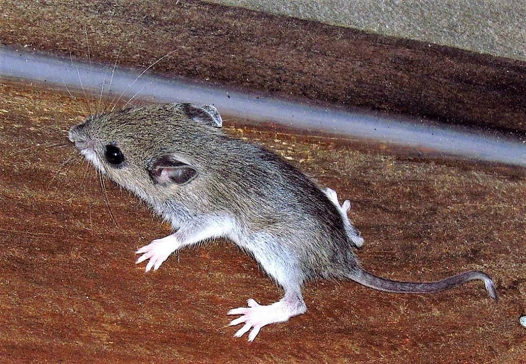 white footed mouse inside running along the baseboard