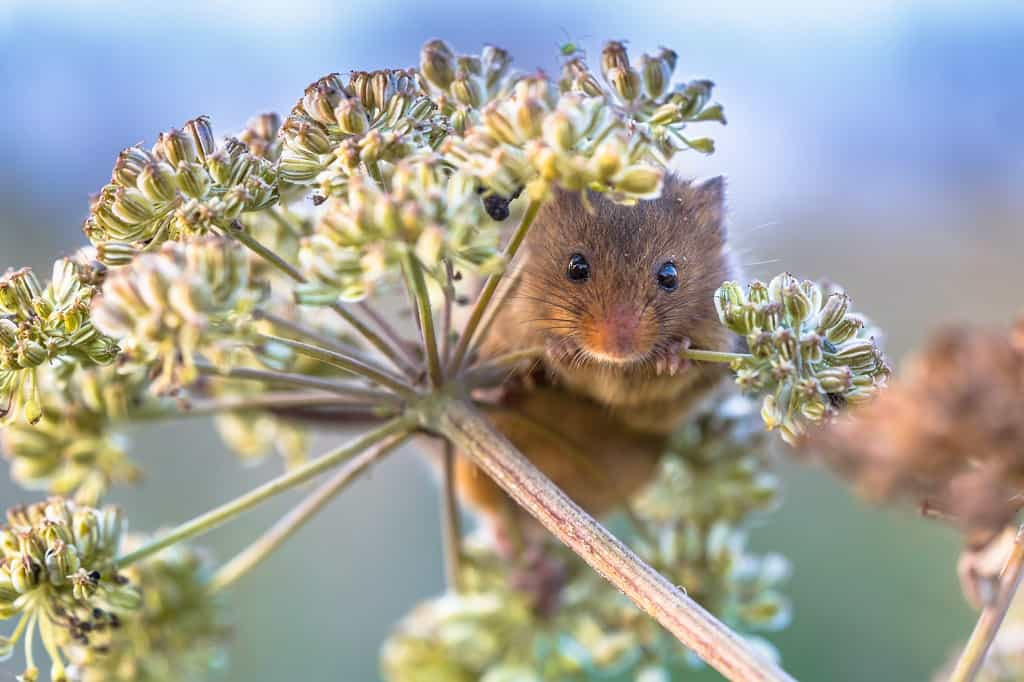 Eurasian harvesting mouse eating seeds from a plant