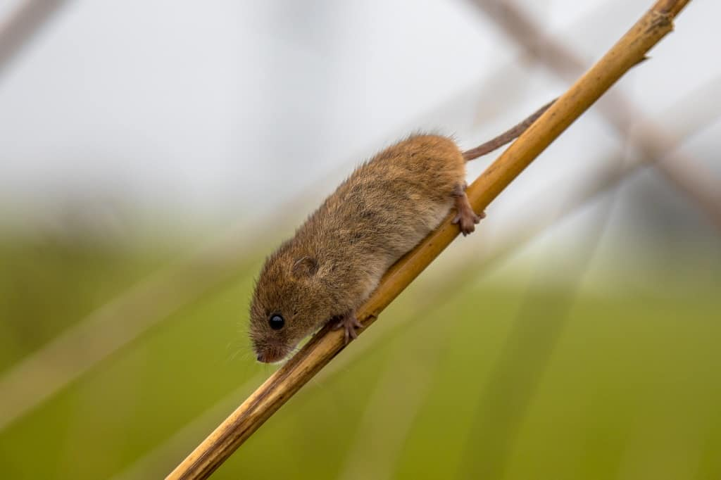 harvest mouse holding onto a garden reed