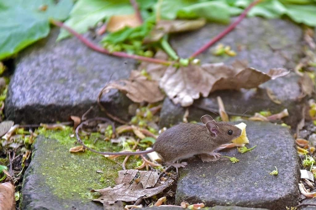 grey mouse on garden rocks