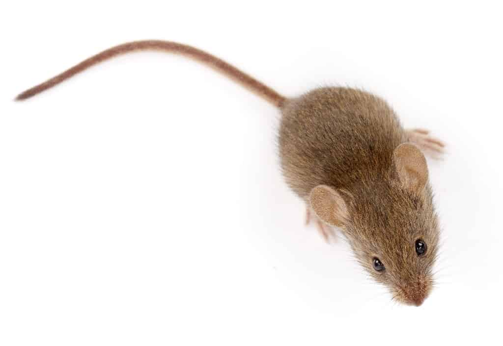 mus musculus - common house mouse on white background