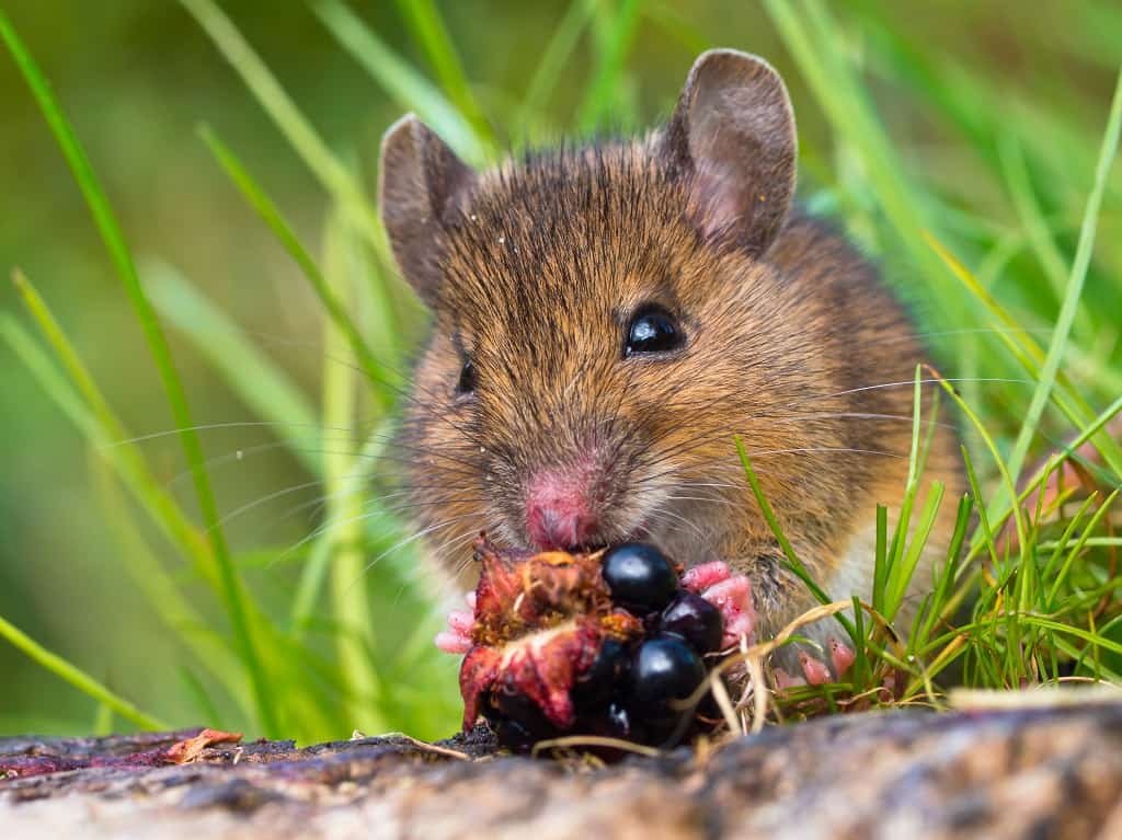wood mouse eating a black berry