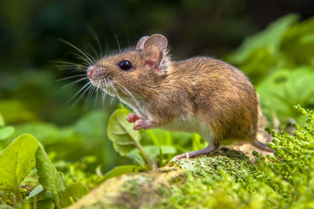 wood mouse standing on a tree root outdoors