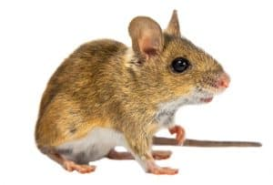 brown field mouse tritching his nose