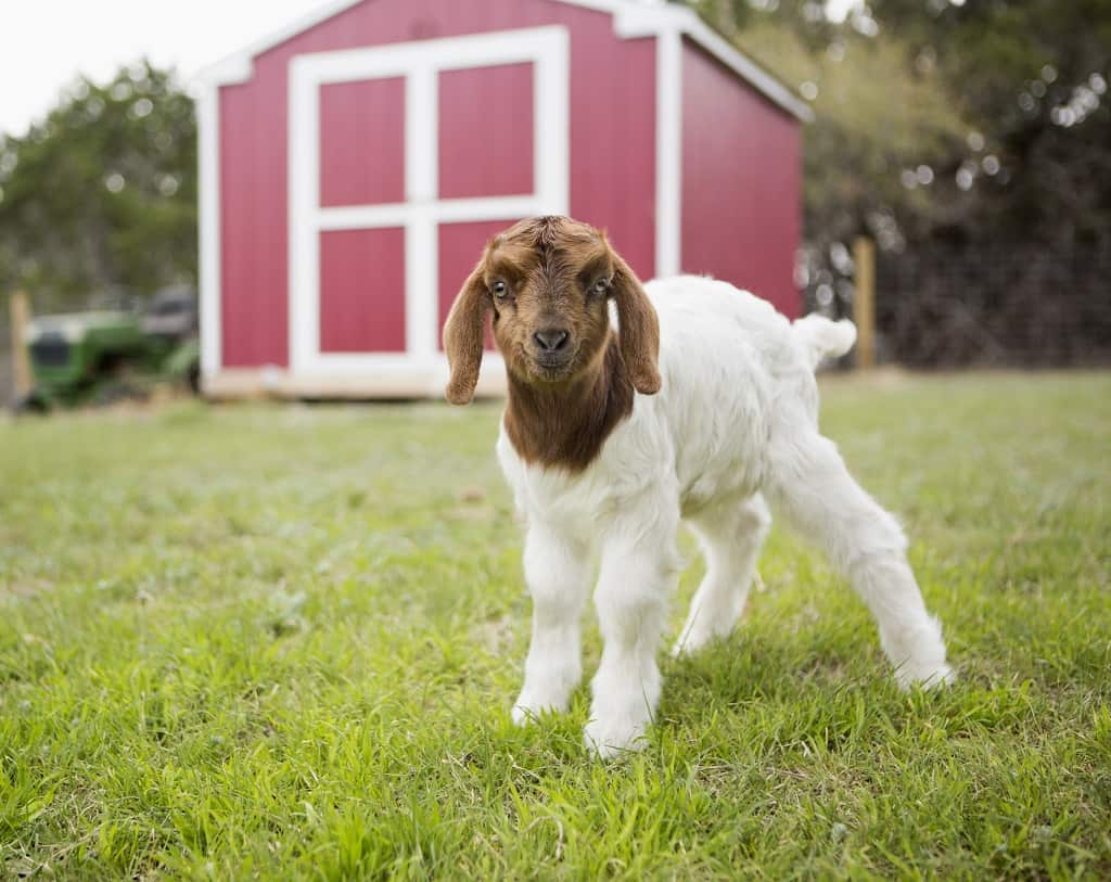 baby goat oustide the barn