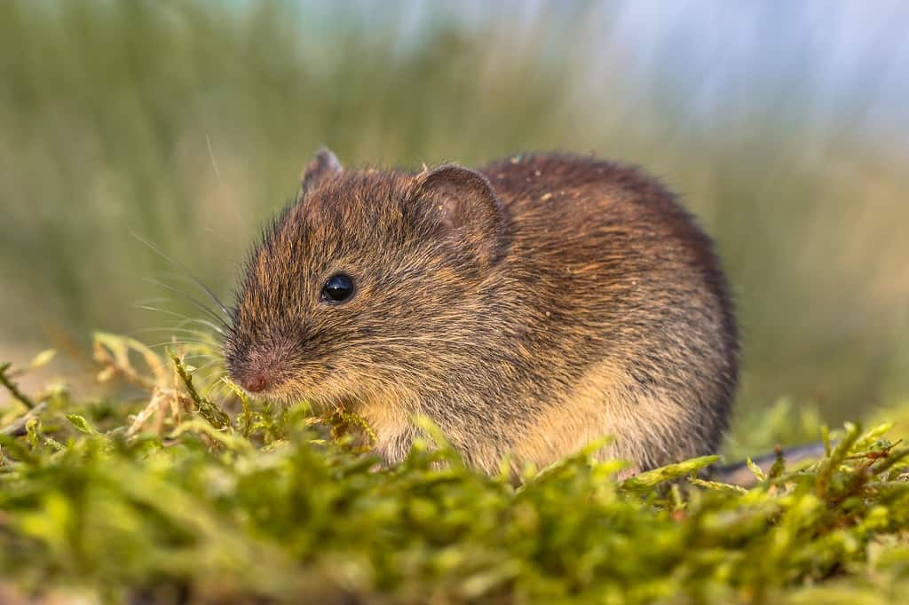 small vole sitting in grass