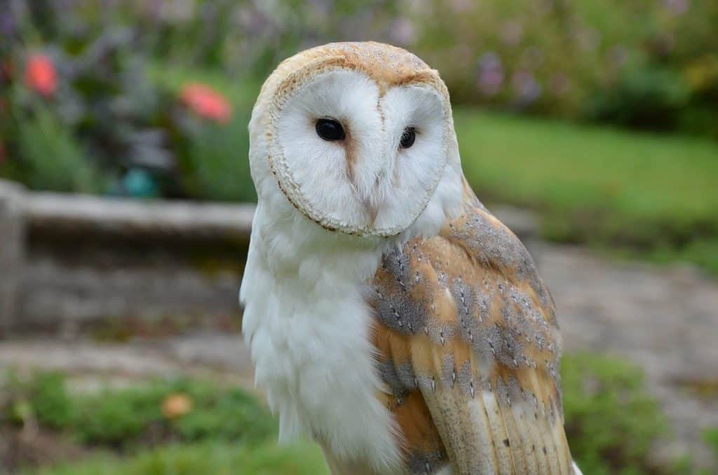 barn owl on a local farm