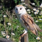 How to Attract Barn Owls to Control Mice