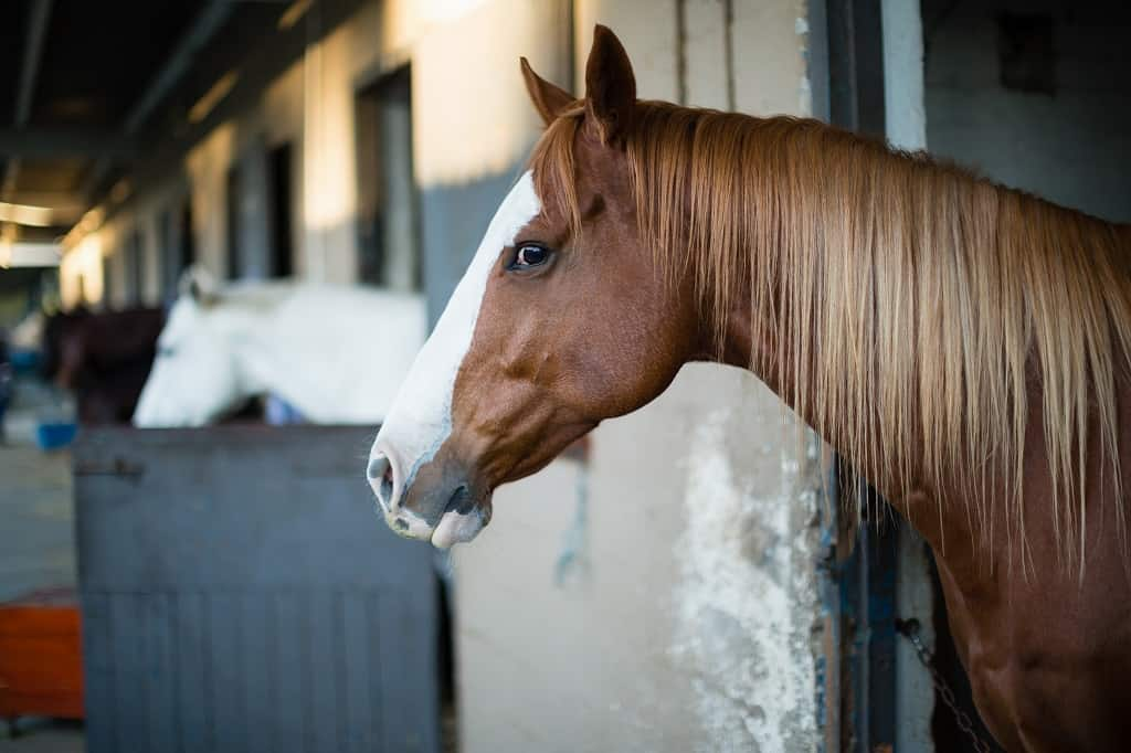 horse in barn stall