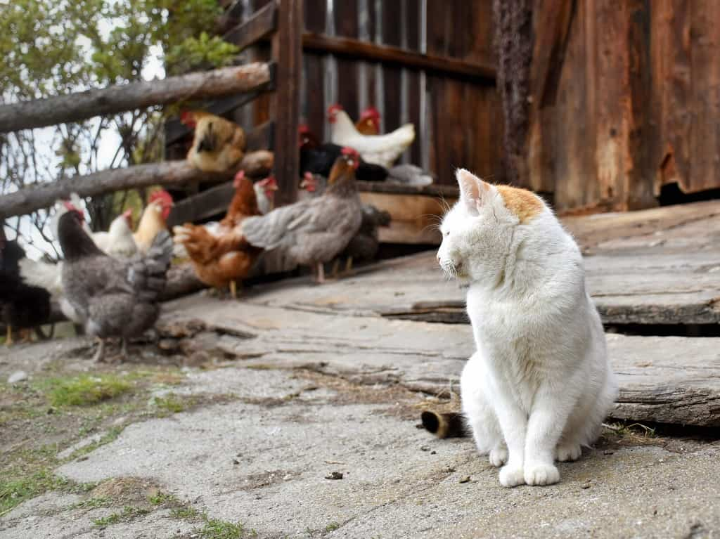 Cat keeping watch over the chicken coop.