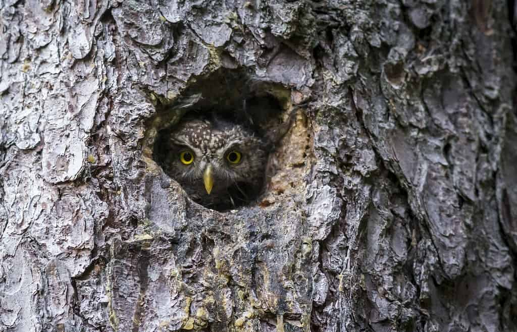 owl nesting in tree