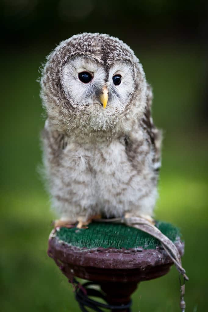 baby owl on post