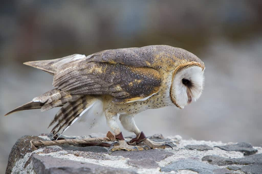 barn owl perched on a stone wall