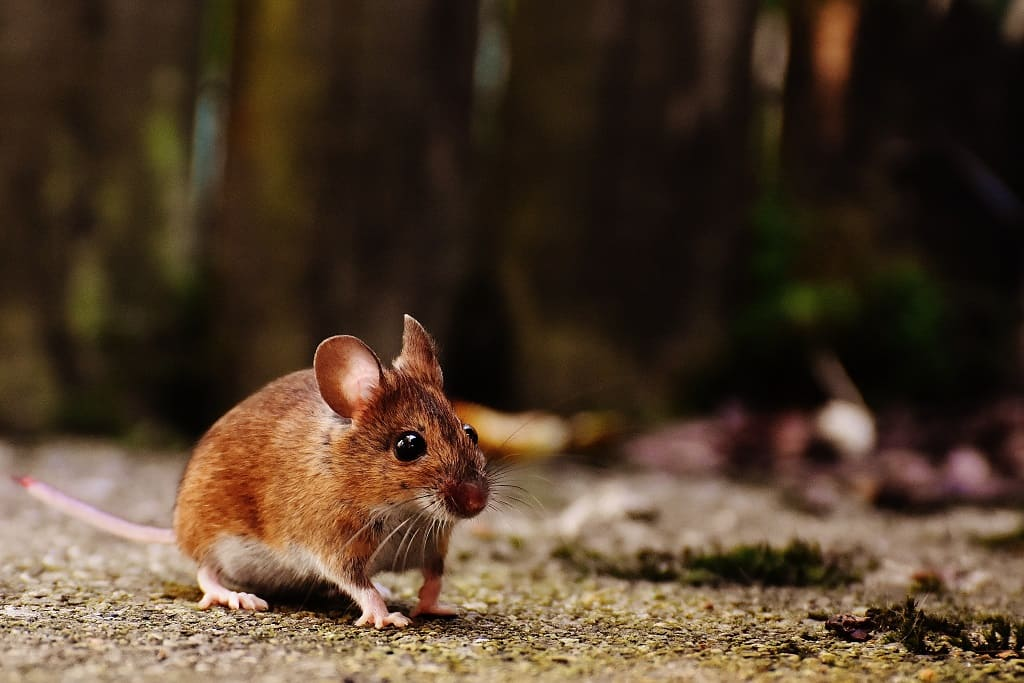 brown mouse outside