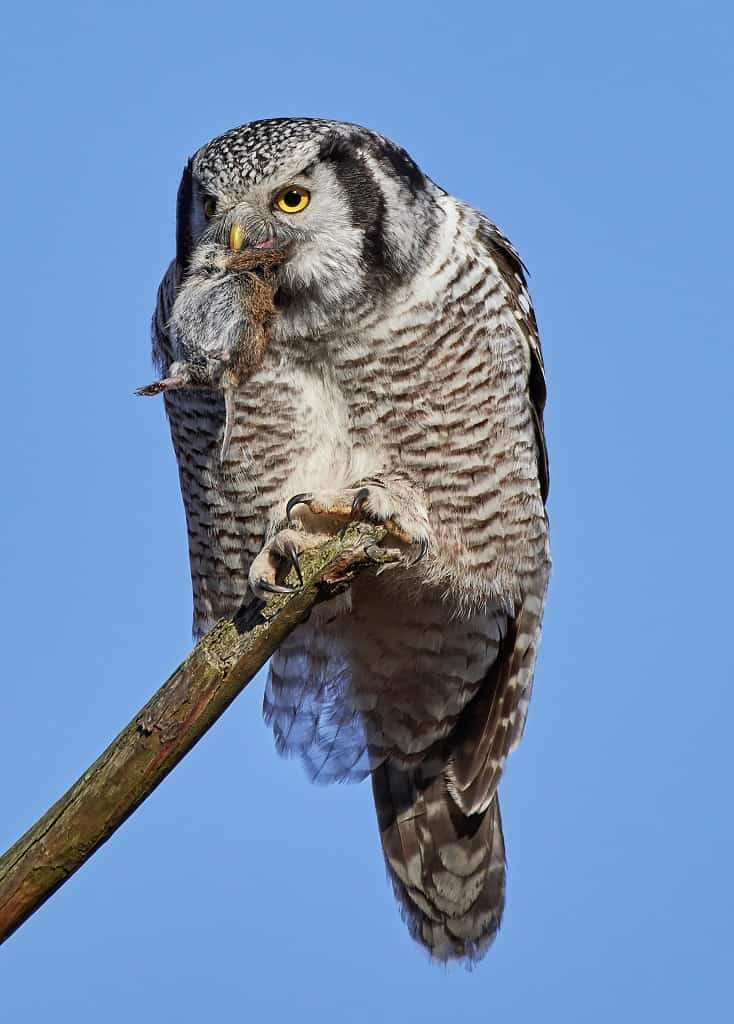 northern hawk owl eating a mouse