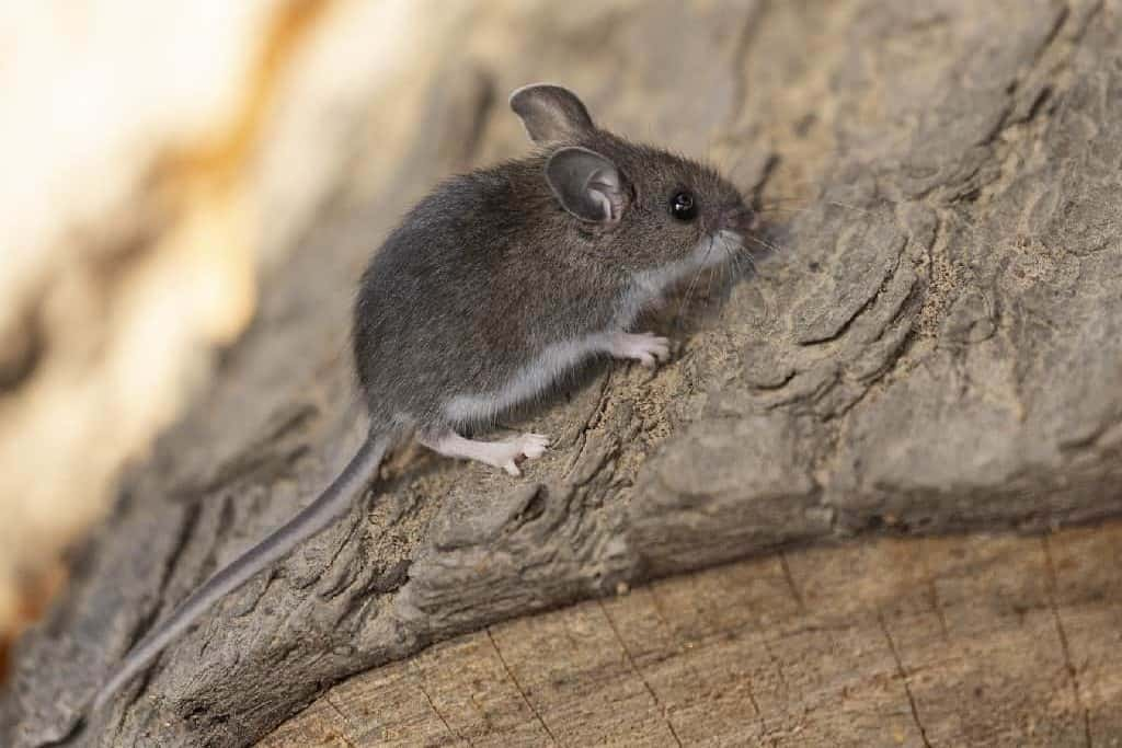 small deer mouse on log