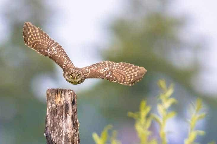 Owl in mid flight ready to hunt for the night.