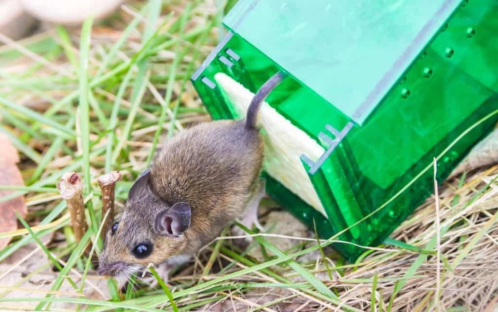 mouse being released from a live trap