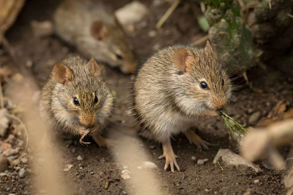 three mice outdoors eating vegetation and dried grass