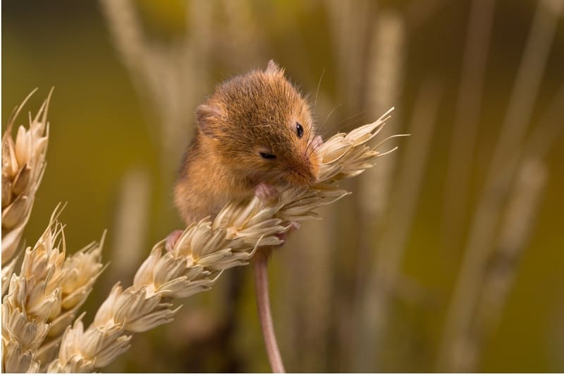 wild mouse eating a piece of grain in the field